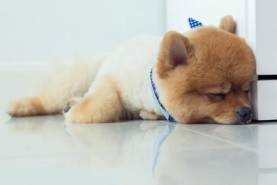 眠るポメラニアン