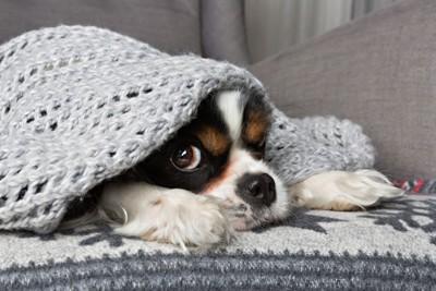 毛糸ブランケットの下から覗く犬