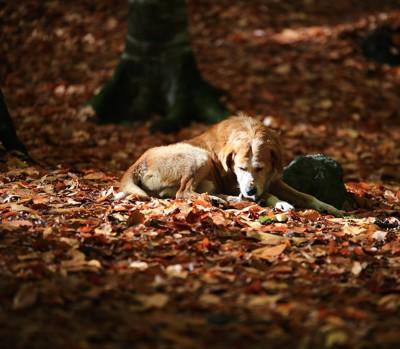 落ち葉の上で眠る犬