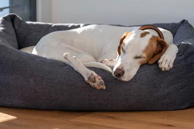 専用ベットで熟睡する犬