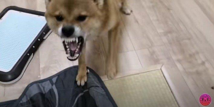 噛みつこうとする柴犬さん