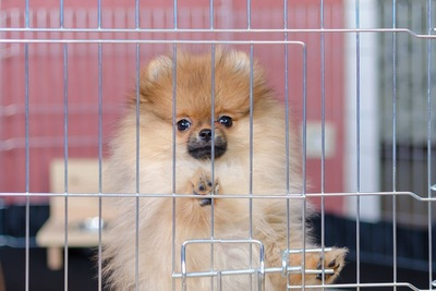 立ち上がってケージの扉に両手を置いているポメラニアンの子犬