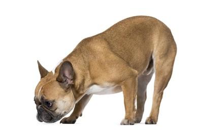 地面の匂いを嗅ぐ犬