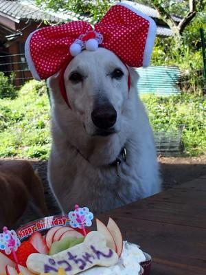 犬用ケーキを見つめるペコ