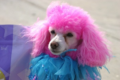 毛をピンクに染められたトイプードル