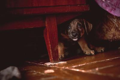 家具の下に隠れる子犬