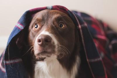 毛布を被って驚く犬