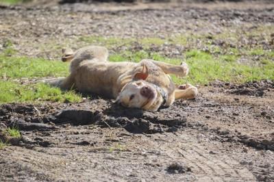 泥の上で気持ちよさそうに寝転がる犬