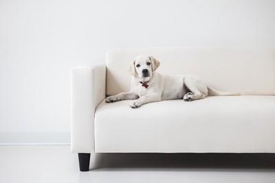 白いソファーにいる子犬