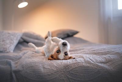 ベッドでへそ天状態になる犬