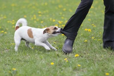 歩く人のズボンの裾を引っ張る犬