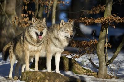 揃って何かを見つめる2頭のオオカミ
