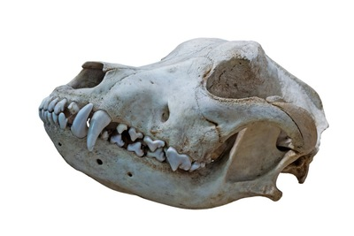 イヌ科動物の頭骨