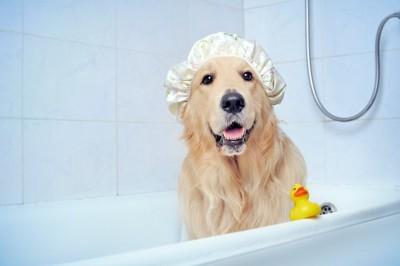 浴室でシャワーキャップをしたレトリバー