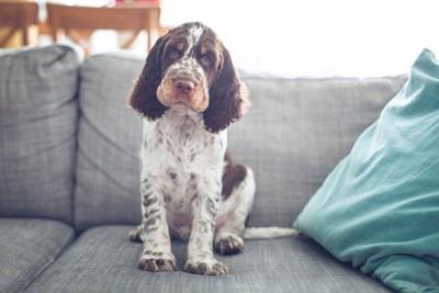 ソファの上にオスワリする犬