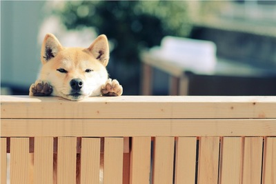柵に手をかけてこちらを見る柴犬