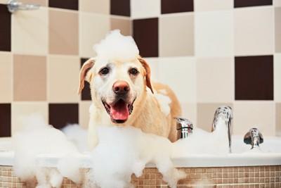 お風呂で泡まみれのラブラドール