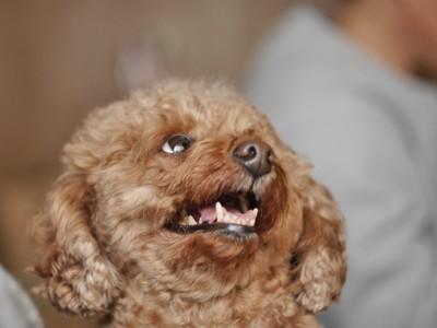 笑顔で見上げるトイプードルの顔アップ