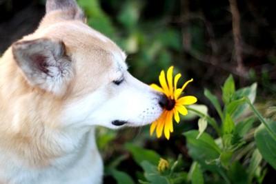お花の匂いを嗅いでいる犬