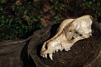 犬の頭の骨格