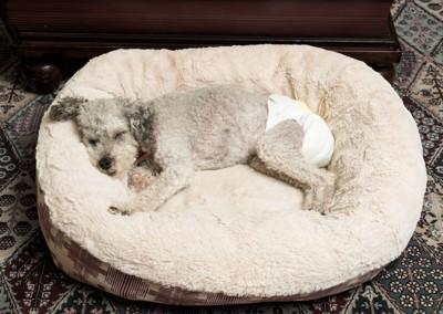 オムツをつけて眠る犬