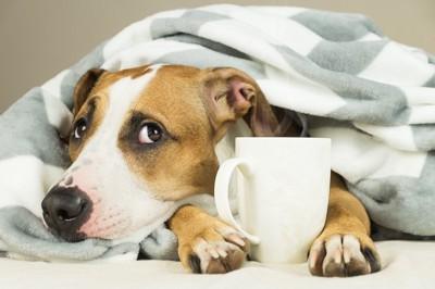 コップを持ち毛布にくるまる犬