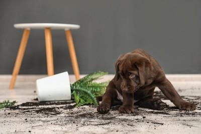 植木鉢を倒してしまった子犬