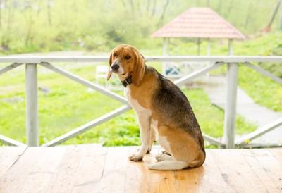 テラスの犬