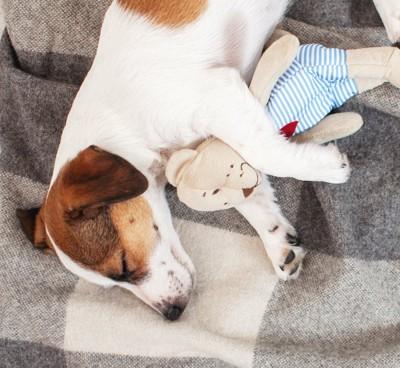ぬいぐるみを抱きしめて寝る犬