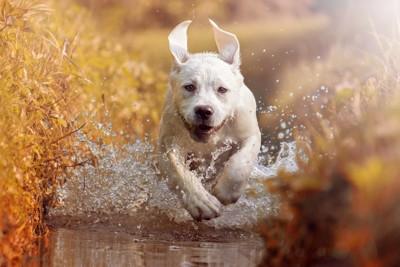 走る白い犬