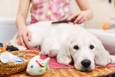 お家で飼い主にブラッシングされる犬