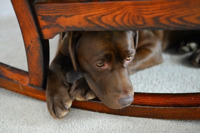 揺りイスの下で元気がなさそうな犬