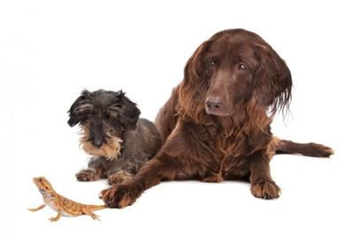 トカゲを見つめる2匹の犬