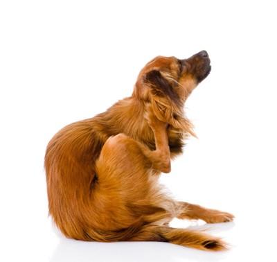 耳をかく犬