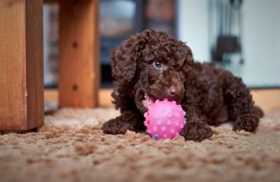 ボールとトイプードルの子犬