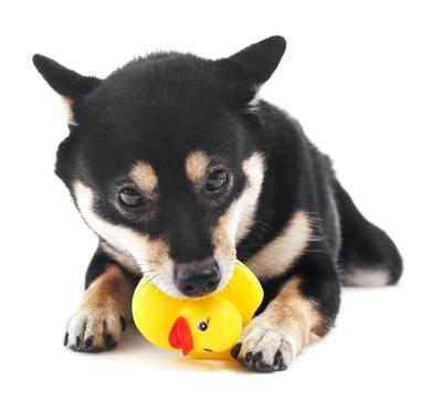 ヒヨコのおもちゃで遊ぶ柴犬