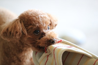 スリッパを咥える犬