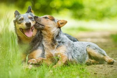 オーストラリアンキャトルドッグの子犬