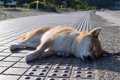 地面に寝転ぶ柴犬
