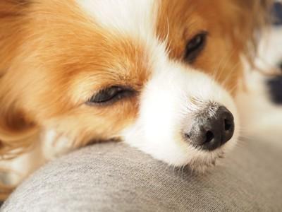 膝の上で眠る犬