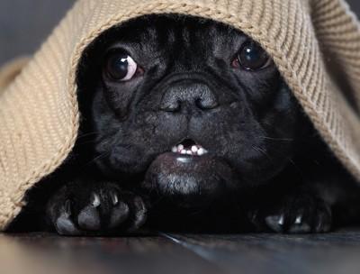 怖がって毛布の中に隠れる犬