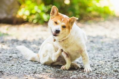 後ろ足で体を掻いている犬