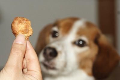 飼い主が持つおやつを見つめる犬