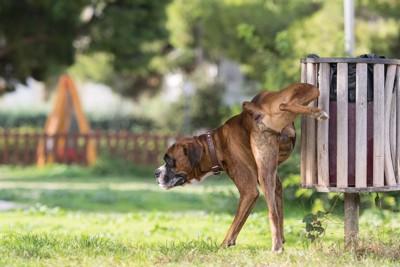 脚を上げてオシッコをするボクサー犬
