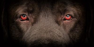 赤い犬の眼