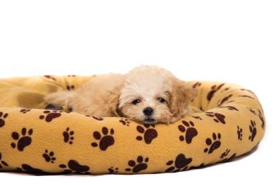犬用ベッドの上で眠るトイプードル