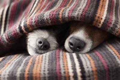 一緒に布団をかぶって鼻を出す二匹の犬