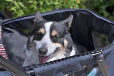 カートで散歩する老犬