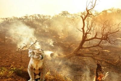 山火事の焼け跡をバックにしたコアラ
