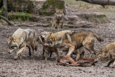 腐肉を食べるオオカミの群れ